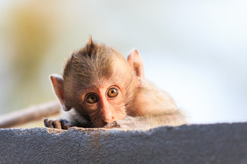 Close-up of Little Monkey (Crab-eating macaque) in Thailand