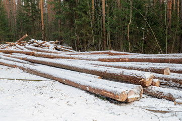 Pile of spruce logs in winter forest
