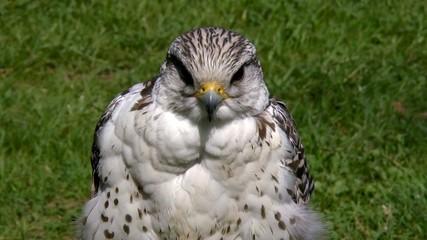 Saker Falcon predator