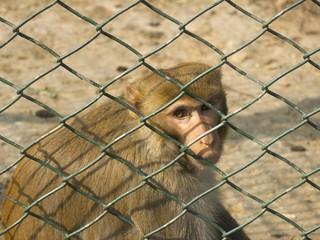 monkey in a prison