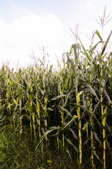 Growing Green Corn Field