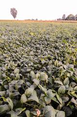 Fresh Green Soy Field