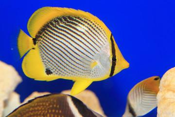 Blackback butterflyfish (Chaetodon melannotus) in Japan