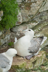 Breeding Fulmars