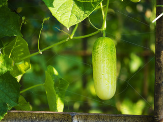 cucumber in the farm land
