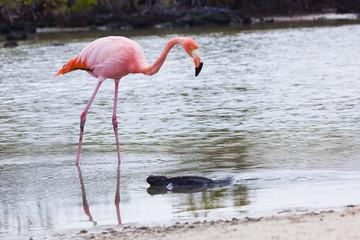 Flamingos alimentandose en Playa bachas, Galapagos