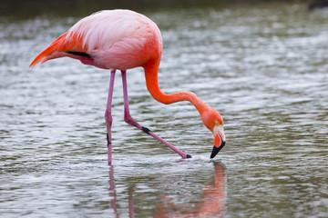 Flamingos alimentandose en Isla Santa Cruz, Galapagos