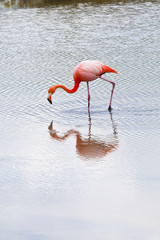 Flamingos alimentandose en Playa Las bachas Galapagos