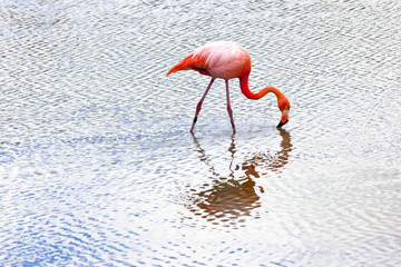 Flamingo alimentandose en Isla Santa Cruz, Galapagos
