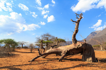Broken Trunk of baobab tree in a baobab forest