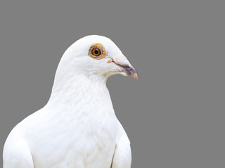 white dove bird isolated on 50 percent gray