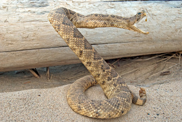 rattle snake in sand by old log