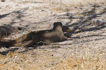 Zebramangusten, Etoscha-Nationalpark, Namibia, Afrika