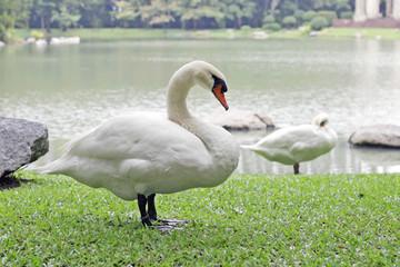 Goose in lake park