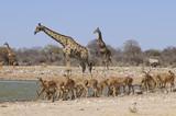 Giraffe mit Impalaherde, am Wasserloch, Etoscha, Namibia, Afrika