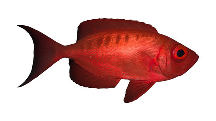 Crescend-tail bigeye. Isolated on the white background