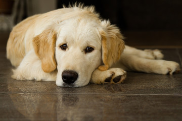 Cute lonely golden retriever puppy lying on the floor