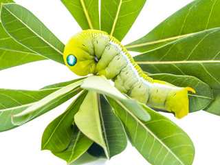 green butterfly worm on the leaves
