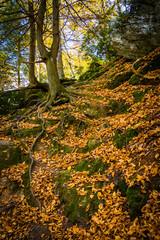 Fallen leaves on a steep hillside on a trail in Gunpowder Falls