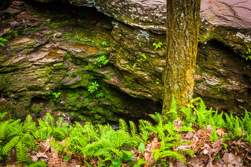 Ferns, tree, and boulders in the forest at Ricketts Glen State P
