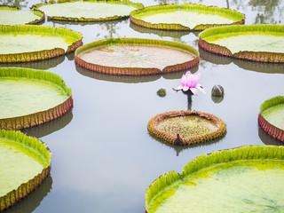 victoria waterlily on the pond