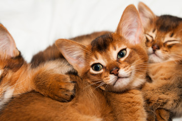 Cute little abyssinian