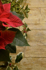 Viscum album Euphorbia pulcherrima Ilex aquifolium