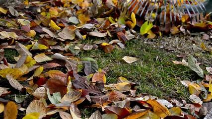 Raking with garden rake autumn leaves in garden