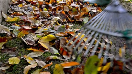 raking neatly with garden rake autumn leaves in garden