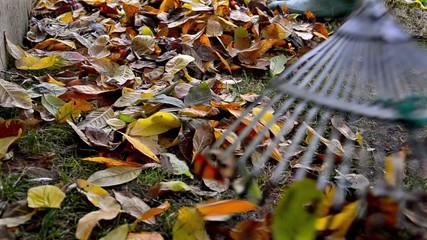 raking neatly with garden rake autumn leaves in garden