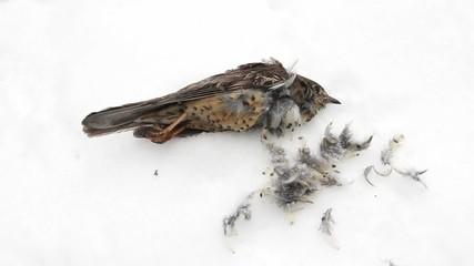 Dead Mistle Thrush (Turdus viscivorus) lying in the snow.