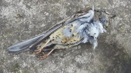 Dead mistle thrush (Turdus viscivorus)  killed by wind turbine.