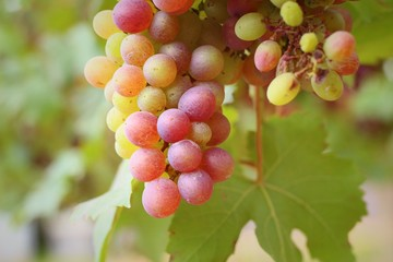Grapes in the vineyard - the fruit.