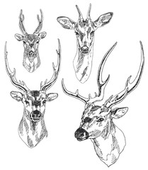 Set of hand drawn deer heads. Vector illustration.