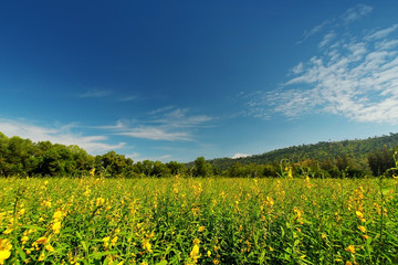 Indian hemp, Madras hemp field in day light background