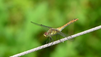 Dragonfly, Yellow-winged darter - sympetrum flaveolum