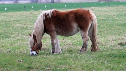 Pferd, Arbeitspferd auf der Koppel