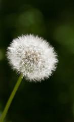 Ripe dandelion head