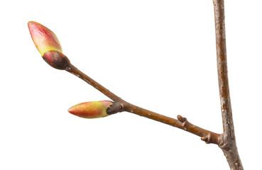 Buds on tree twig