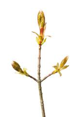 Unfolded buds