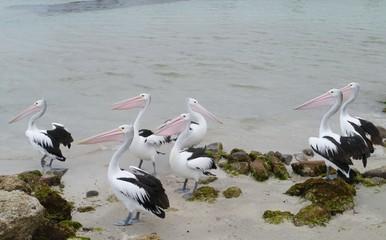 Pelicans on the beach of Kangaroo island in Australia