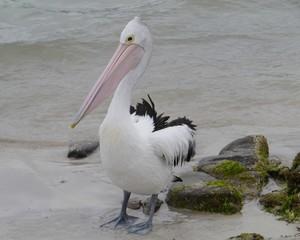 Pelican on the beach of Kangaroo island in Australia