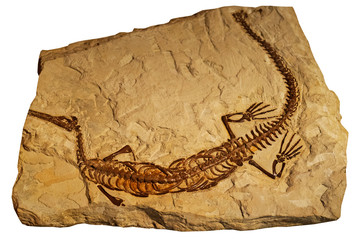 Fossil of ancient reptile in rock