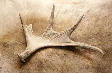 antler deer horn