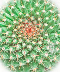 Cactus isolated on white