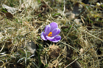 Flower purple crocus