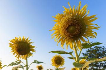 Close up Sunflower against a blue sky