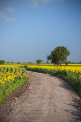 landscape with a field of sunflowers, a dirt road and a tree