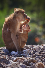 wild Rhesus macaque monkey and young baby looking to monkey moth