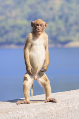 full body of young male natural wild Rhesus macaque monkey stand